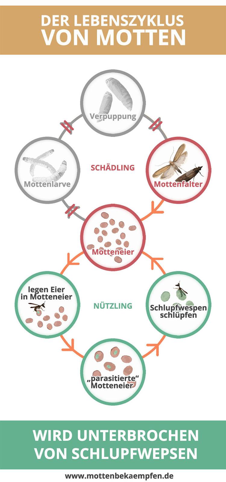 Schlupfwespen unterbrechen den Lebenszyklus von Motten (Schlupfwespen befallen Motteneier und vermehren sich dadurch selbst) - Mit Schlupfwepsen Motten clever bekämpfen